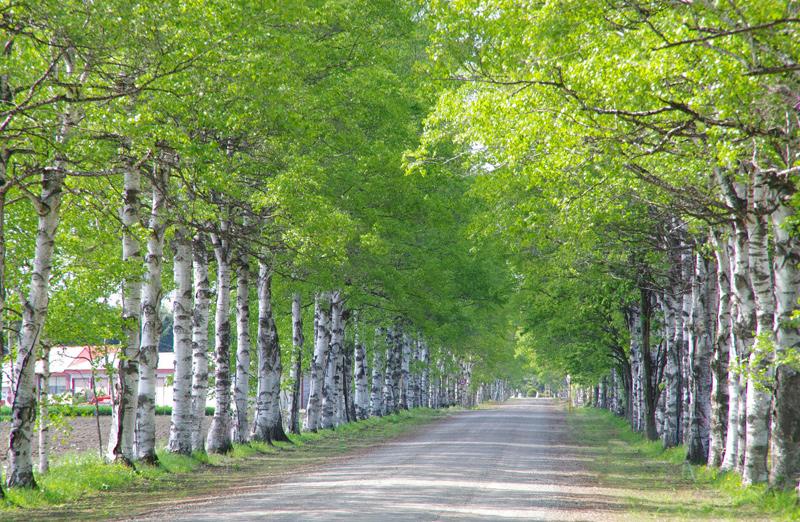 家畜改良センター十勝牧場の白樺並木